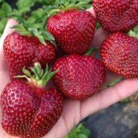 Вивальди ягоды
